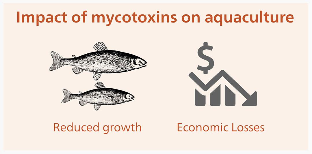 Hasta donde sabemos, el maíz y sus subproductos son los más contaminados con micotoxinas, seguidos por el trigo y la soja. Foto: Alltech
