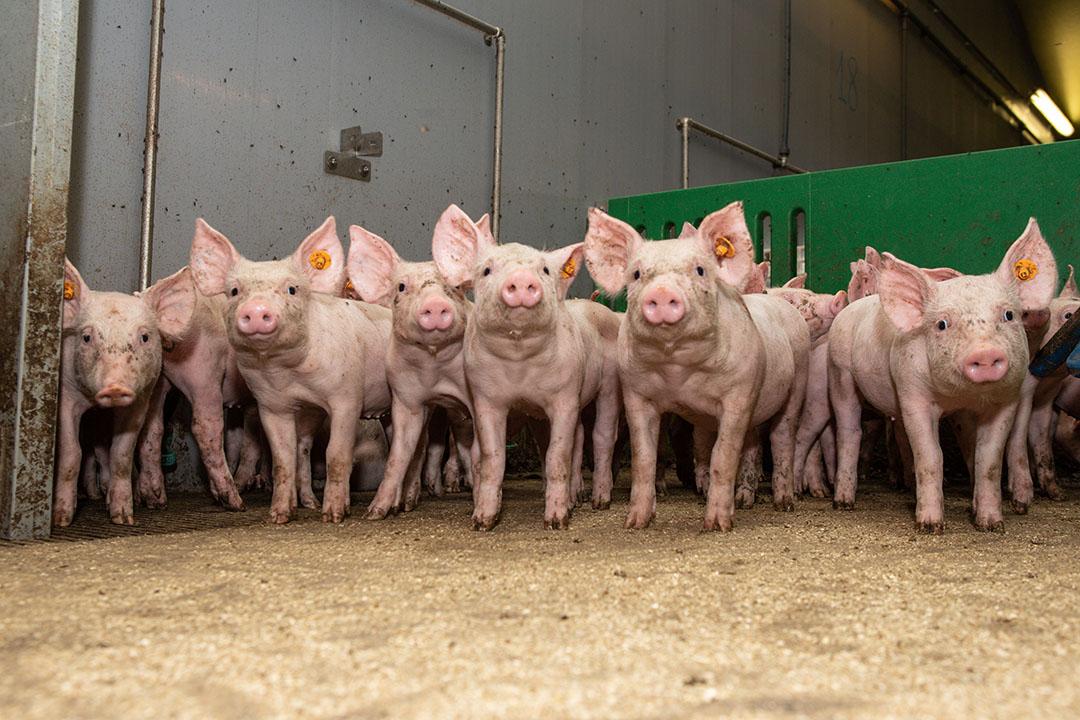 ¿Qué desafíos plantean estas restricciones a los productores de cerdos que se esfuerzan por mantener la salud y la productividad del rebaño? Foto: Peter J.E. Roek