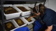 Nuevos y emocionantes desarrollos están acelerando el uso de la harina de larvas de la Mosca Negra Soldado en cerdos y también en otras especies de ganado. Foto: Olympia