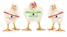 El equilibrio en las respuestas inflamatorias significa un intestino sano y aumenta la eficiencia. Foto: DSM