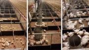 Pollos de engorde en diferentes etapas de crecimiento. Foto: Innovad