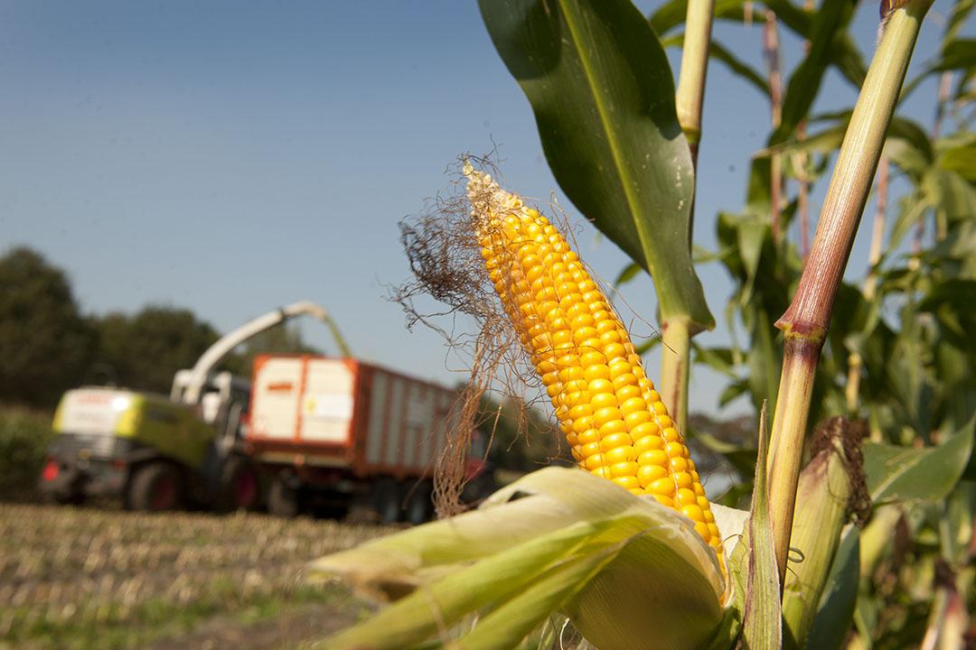 Las perspectivas no son malas para el trigo y el maíz, especialmente ahora que China sigue demandando mucho maíz. - Foto: Mark Pasveer