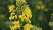 La harina de colza de alto contenido proteico se utiliza para alimentar a muchas especies de ganado. Foto: Misset