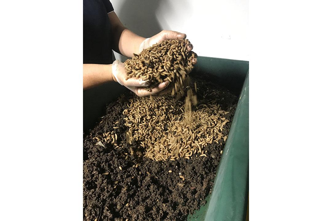 Debido a que las larvas de la Mosca Negra Soldado pueden ser potencialmente alimentadas con desechos de comida que podrían contener incluso pequeñas cantidades de harina o productos alimenticios, deben tomarse precauciones adicionales antes de que puedan entrar en la cadena de suministro de alimentos para cerdos. Foto: Olympia