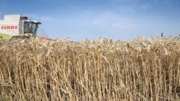 La demanda de trigo y especialmente de maíz mantiene los precios mundiales a un nivel sólido. El maíz es muy popular, todavía debido a la demanda del mercado chino. Foto: Mark Pasveer