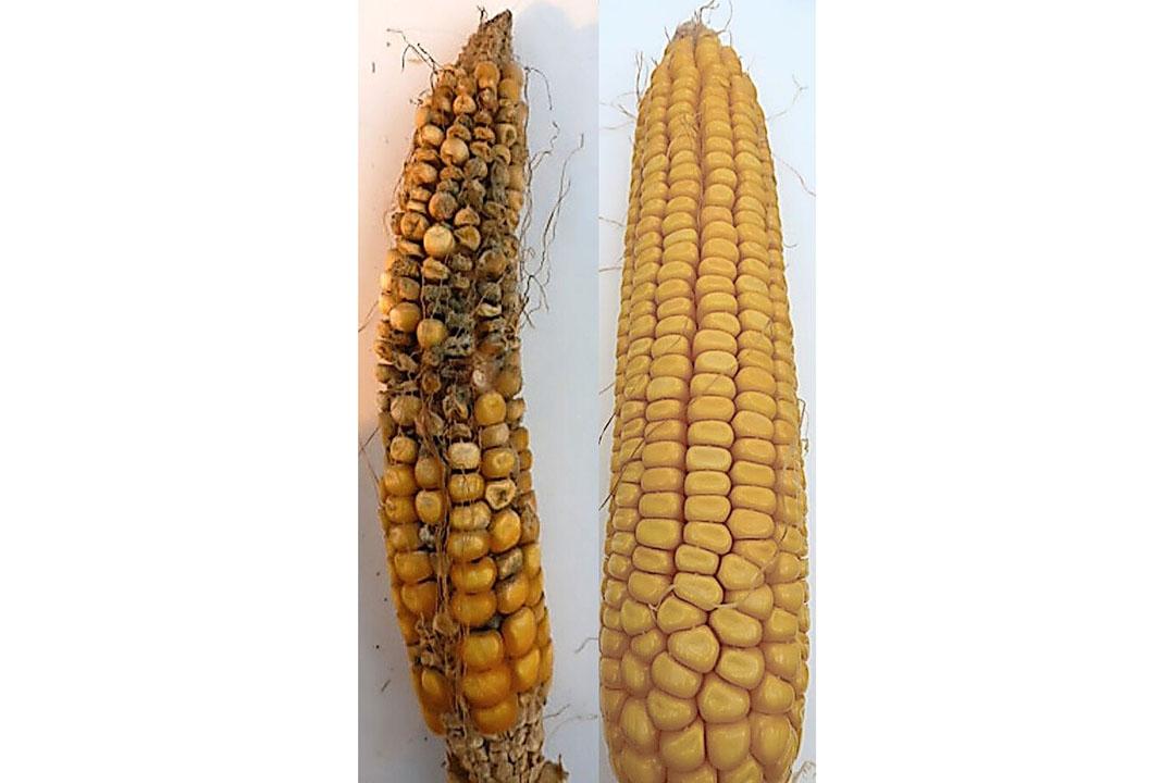Maíz sin tratar infestado con Fusarium (tizón de la cabeza) (izquierda) y maíz tratado con el prometedor endocito M6 (derecha). Foto: Universidad de Guelph