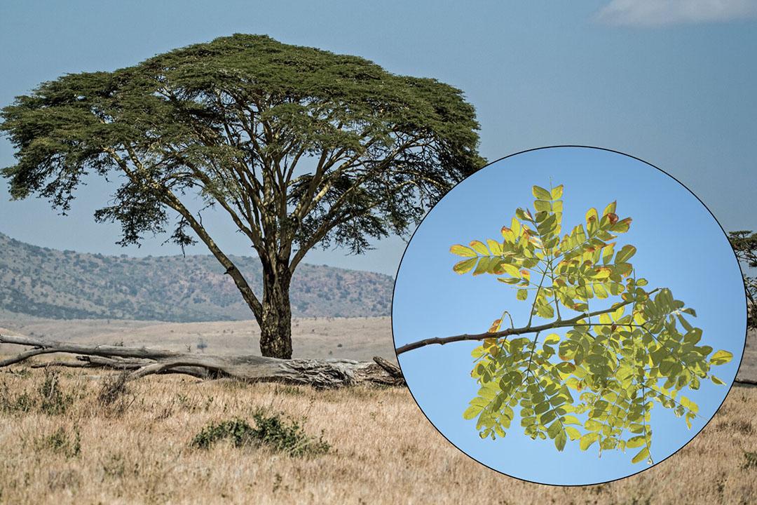 El conocido árbol de acacia tortilis de África también se conoce como árbol espinoso de paraguas, con su dosel espinoso de ramas y hojas. Foto: Maahid y David Clode