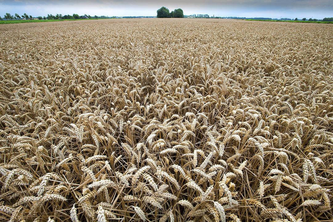 El tipo de cambio del dólar y la importación china de cereales y soja tienen un papel destacado en el mercado de los cereales en estos días. Las condiciones de cultivo están mejorando, especialmente para el trigo. Los precios están bajando. Foto: Hans Banus