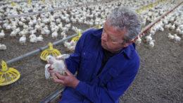Cada vez hay más presión sobre el uso de antibióticos y la propia cría de aves de corral también cambia, lo que también tiene consecuencias para la atención sanitaria. Foto: Lex Salverda