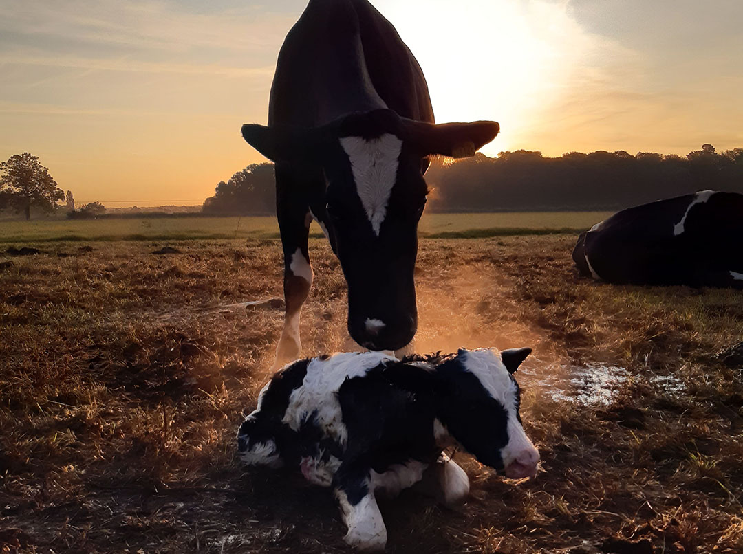 Se sabe que el parto, el estrés por calor, los cambios en la dieta, el transporte y las infecciones provocan una depresión de la inmunidad. Foto: Shutterstock
