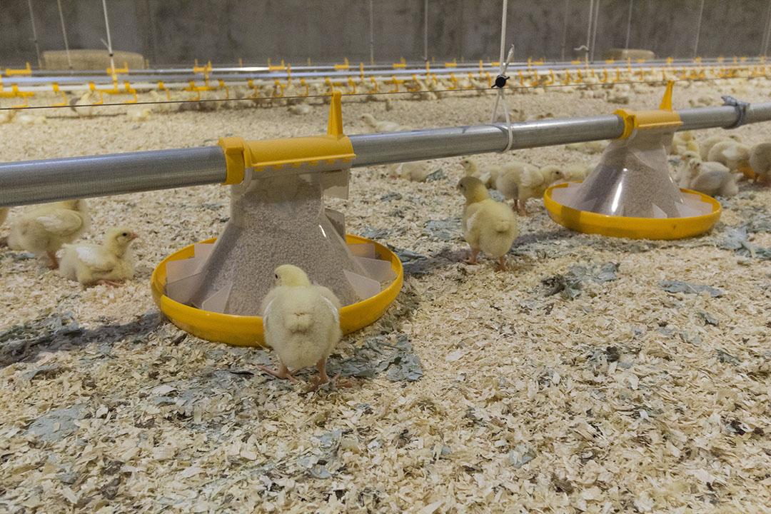 Criar aves sin necesidad de antibióticos es el objetivo, pero las circunstancias imprevistas a veces hacen que se pierda el tiempo. Foto: Theo Galema