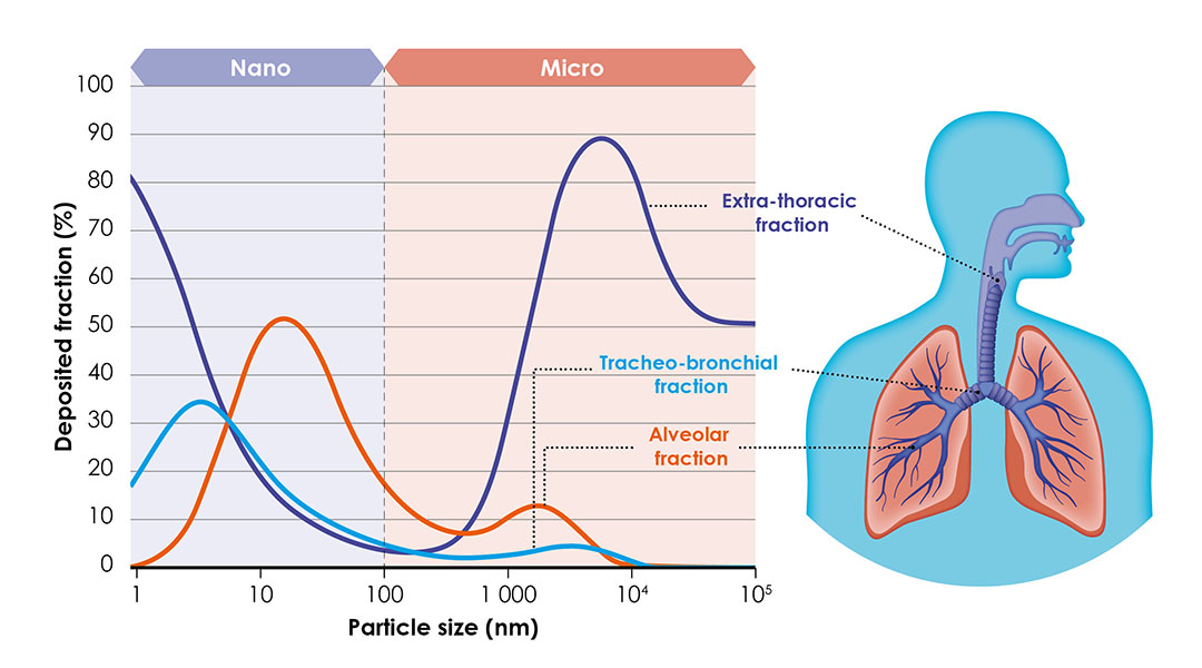 Figura 2: Las nanopartículas se depositan en lo profundo de los pulmones. Foto: Animine
