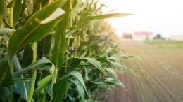 Un total de 9,7 millones de toneladas del consumo de maíz de 2020/21 es para alimentación. Foto: aleksandarlittlewolf