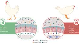 Función gastrointestinal en intestinos sanos y dañados.