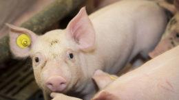 La Lawsonia intracelular, aunque se reconoce principalmente en los cerdos, se está extendiendo a una amplia gama de mamíferos. Foto: Koos Groenewold