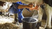 La combinación de una adecuada nutrición del rumen con el fortalecimiento del sistema inmunológico del animal proporciona una mayor producción y calidad diaria de la leche. Foto: Shutterstock