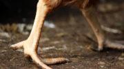 Al facilitar el comportamiento y la actividad naturales y al reducir los problemas de salud de las patas, el hecho de proporcionar larvas de mosca soldado negra puede beneficiar el bienestar de los pollos de engorde. Foto: Estudio Larsen