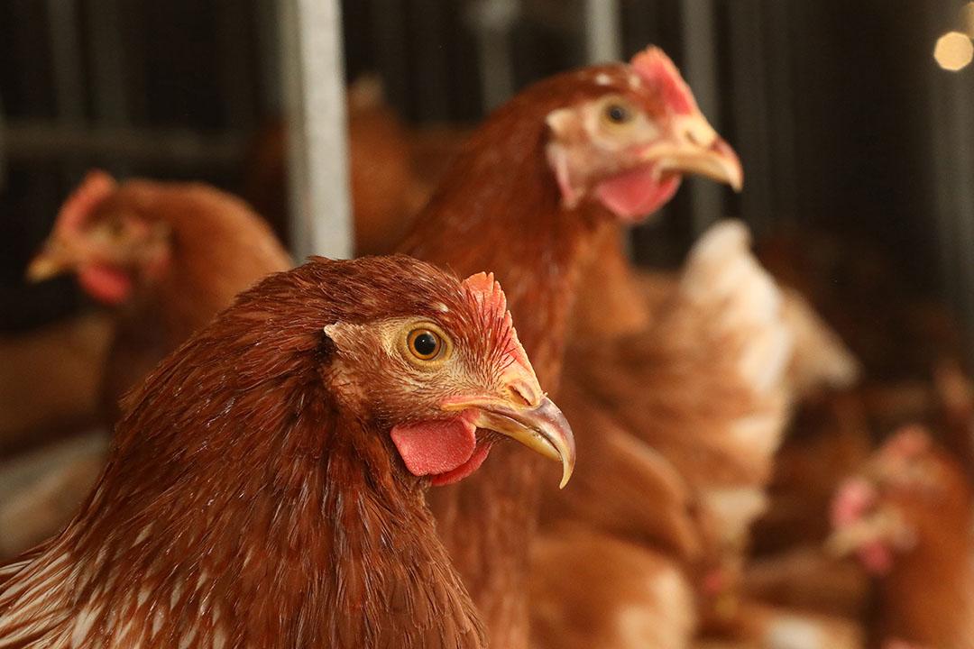 La investigación científica ha descubierto importantes conocimientos sobre los efectos nocivos que las micotoxinas individuales suponen para la alimentación de las aves de corral, la salud de éstas y la seguridad alimentaria. Foto: Henk Riswick