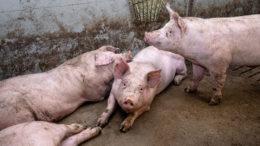¿Cuál es el efecto a largo plazo del DON en los cerdos de engorde? - Foto: Herbert Wiggerman