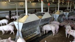 Cerdos finlandeses disfrutando de una comida en una granja en Minnesota, EE.UU.. Foto: Vincent ter Beek