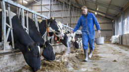 El ganadero Henk van der Veen de Surhuizum utiliza urea de liberación lenta y Protispar de Speerstra Feed Ingredients. Esto es un 30% más barato que la colza adicional. Él nota un ligero aumento de los niveles. Foto: Anne van der Woude