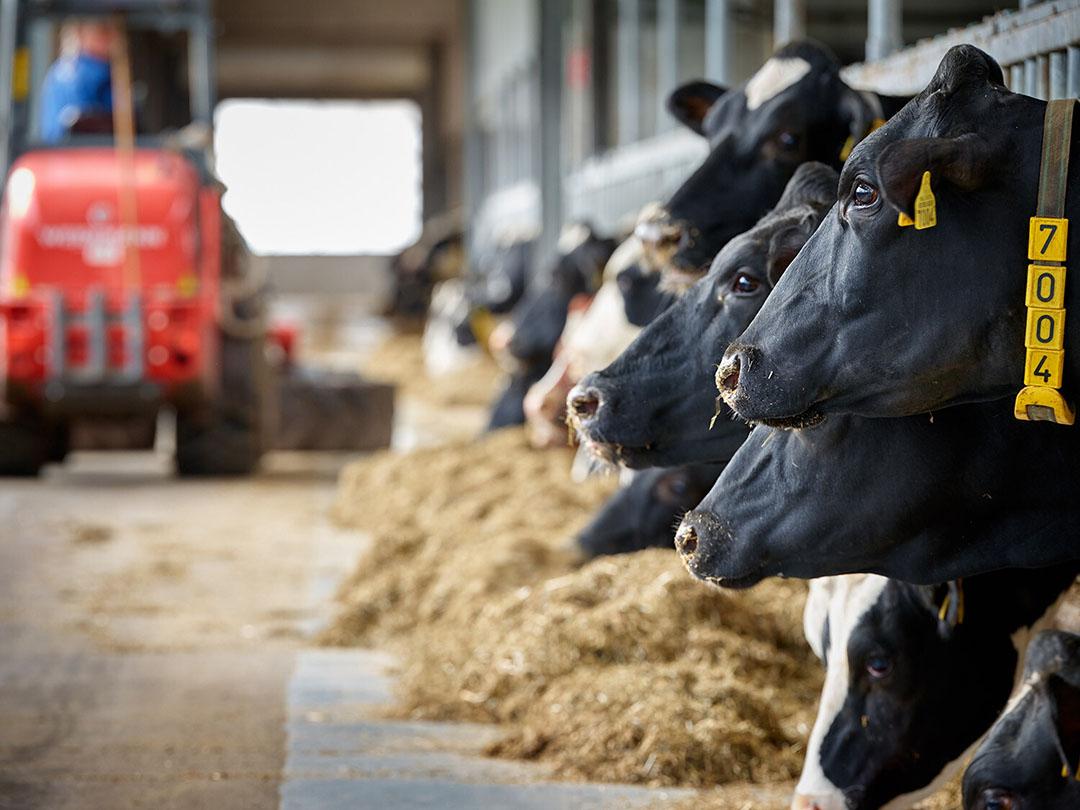Un total de 64 vacas Holstein-Friesian en plena lactancia participaron en el estudio. Foto: Universidad e Investigación de Wageningen