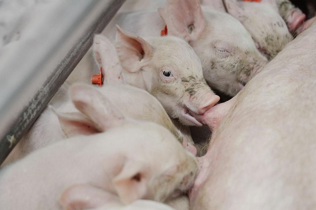 Se produjo un aumento de los niveles séricos de DON y de-DON en los lechones expuestos a la dieta HiZEN durante la última semana de gestación y durante la lactancia. Foto: Ruud Ploeg