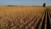 Canadá espera una cosecha algo menor que la de 2020, como consecuencia de la reducción de la superficie. Foto: Canva