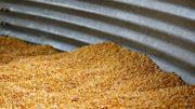 El USDA sigue asumiendo un importante déficit para el maíz. Foto:Canva