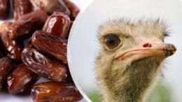 Los residuos de dátiles enteros son un valioso ingrediente para la alimentación de los avestruces. Fotos: Simon Infanger (avestruz) y Azerbaijan Stockers (dátiles)