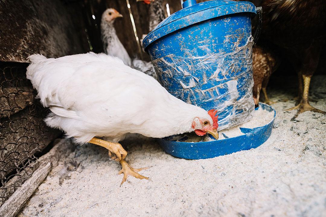 El precio de los pollos y los huevos ha aumentado de forma tan brusca principalmente por el alto coste del maíz, la soja y otros ingredientes utilizados en la producción de piensos para aves de corral. Foto: Freepik