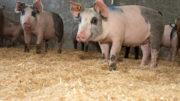 Los cerdos de engorde podrían beneficiarse de un complejo multienzimático como adición a la dieta. Foto: Twan Wiermans