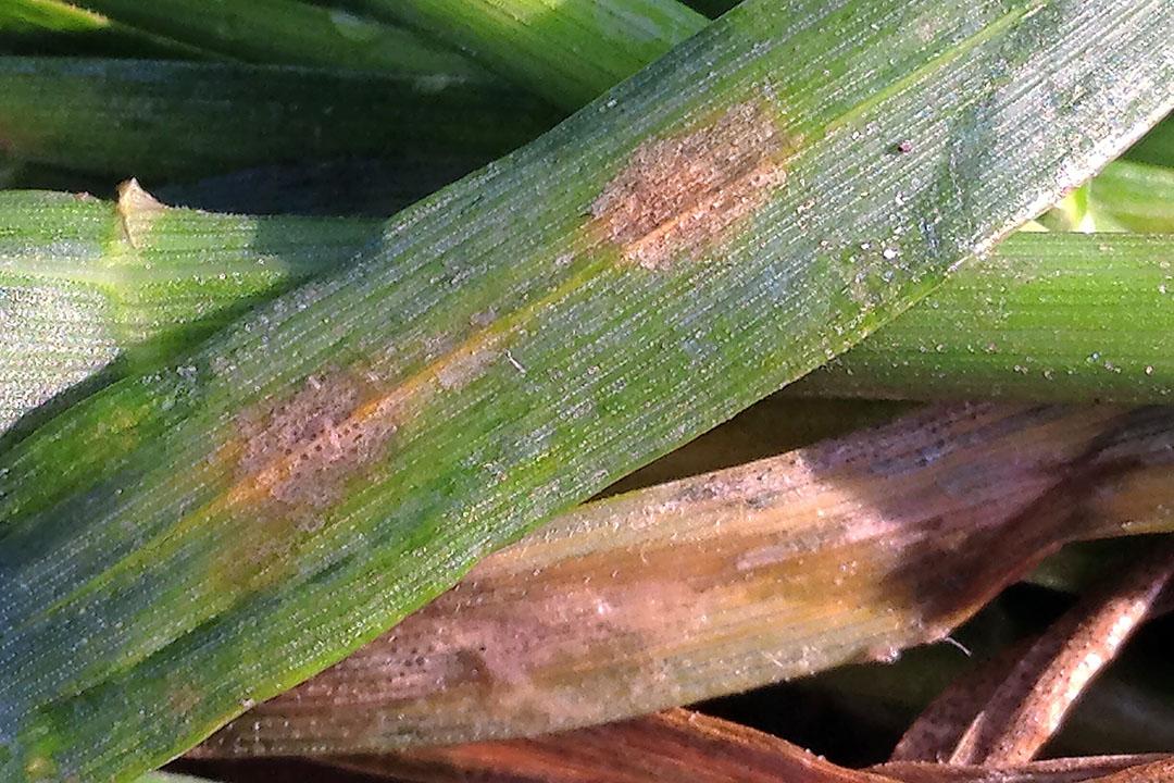 La enfermedad de la mancha de la hoja, también conocida como Septoria, es la tercera enfermedad del trigo más dañina en todo el mundo, después de la roya y el fusarium. Foto: BCS