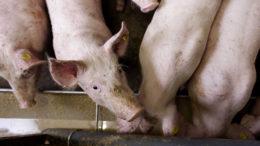 Los cerdos son los animales de granja más sensibles a las toxinas, lo que provoca graves problemas de salud. Foto: Hans Prinsen