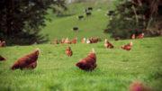 La granja Frenz cría gallinas camperas desde principios de los años 80. Foto: Frenz