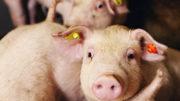 La mucosa intestinal porcina hidrolizada tiene muchas propiedades nutricionales valiosas. Foto: Bart Nijs
