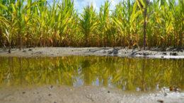 Se prevé que Sudáfrica produzca otra abundante cosecha de maíz tras las buenas lluvias y el clima favorable. Foto: Jannes Bohlmann