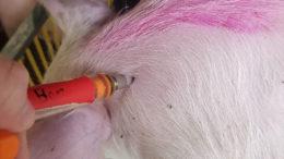 Un lechón es inyectado en el Centro de Enseñanza e Investigación Porcina de la Universidad Estatal de Michigan.  Foto: Kevin Turner, Universidad Estatal de Michigan