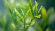 La alimentación con extracto de té verde a razón de 5 g por vaca y día reduce algunos marcadores de estrés oxidativo en las vacas Jersey. Foto: Pixabay