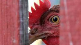 Los precios de la carne de aves de corral están subiendo desde que, al parecer, algunos ganaderos podrían haber perdido el acceso a los suministros de piensos subvencionados en los últimos meses. Foto: Canva