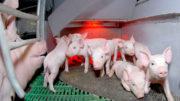 El estrés térmico afecta a la tasa de crecimiento de la industria porcina y avícola rusa. Foto: Vladislav Vorotnikov