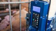 El manejo de la alimentación puede ser un método viable para aumentar la ingesta de alimento de las cerdas, lo que puede beneficiar la producción de leche y mejorar el rendimiento de la camada. Foto: Amanda Lelis UFMG