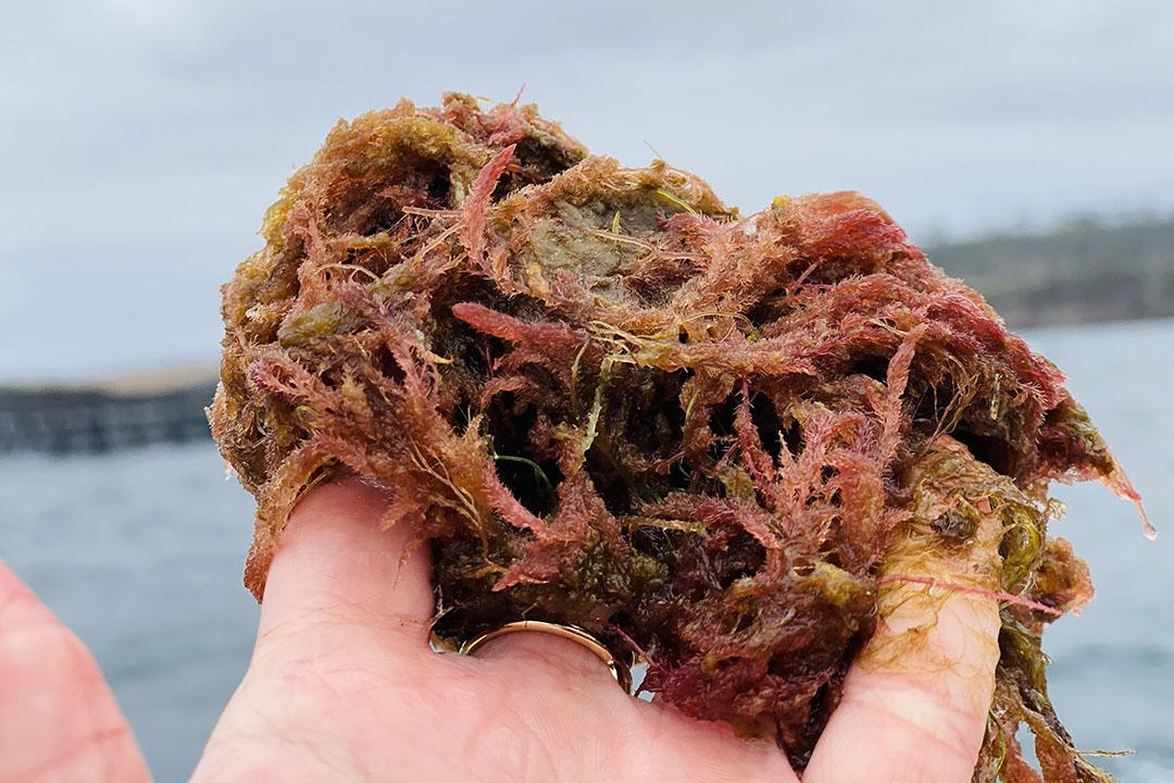 Las algas rojas contienen el compuesto activo bromoformo, que inhibe la producción de metano durante la digestión en la vaca. Foto: Future Feed