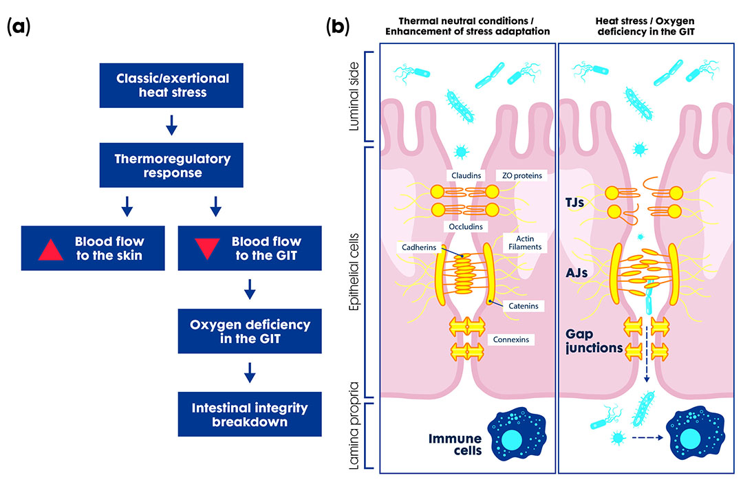 La deficiencia de oxígeno (a) daña el mecanismo de la pared intestinal y las estructuras celulares (b) permitiendo la translocación de patógenos y la mala absorción de nutrientes. Adaptado de Lian et al., 2020 Foto: Trouw Nutrition