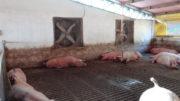 La ventilación forzada es una estrategia muy utilizada por los agricultores dentro de los galpones más nuevos para enfrentar las altas temperaturas en todo el país. Foto: Daniel Azevedo
