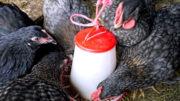 Los fabricantes de piensos en China han cambiado a alternativas más baratas para la alimentación de las aves de corral. Foto: Brett Jordan