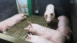 El objetivo debe ser reducir el esfuerzo termorregulador de los cerdos, para que puedan recuperarse rápidamente tras el estrés térmico. Foto: IFIP
