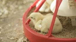 Para los pollos de engorde de una a dos semanas de edad, el objetivo principal debe ser alcanzar un microbioma intestinal estable y diverso. Foto: Koos Groenewold