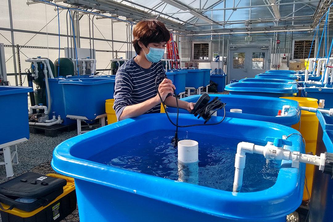 El Dr. Pallab Sarker, de la Universidad de California, estudió el efecto de alimentar a las tilapias con microalgas. Foto: Dr. Pallab Sarker