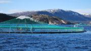 Aunque el aceite y la harina de pescado son ingredientes ideales para los piensos de la acuicultura, se necesitan sustitutos por motivos de sostenibilidad. Foto: Anders Kiessling